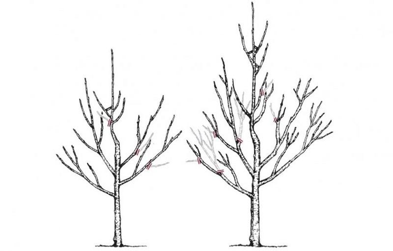 appelboom snoeien tekening