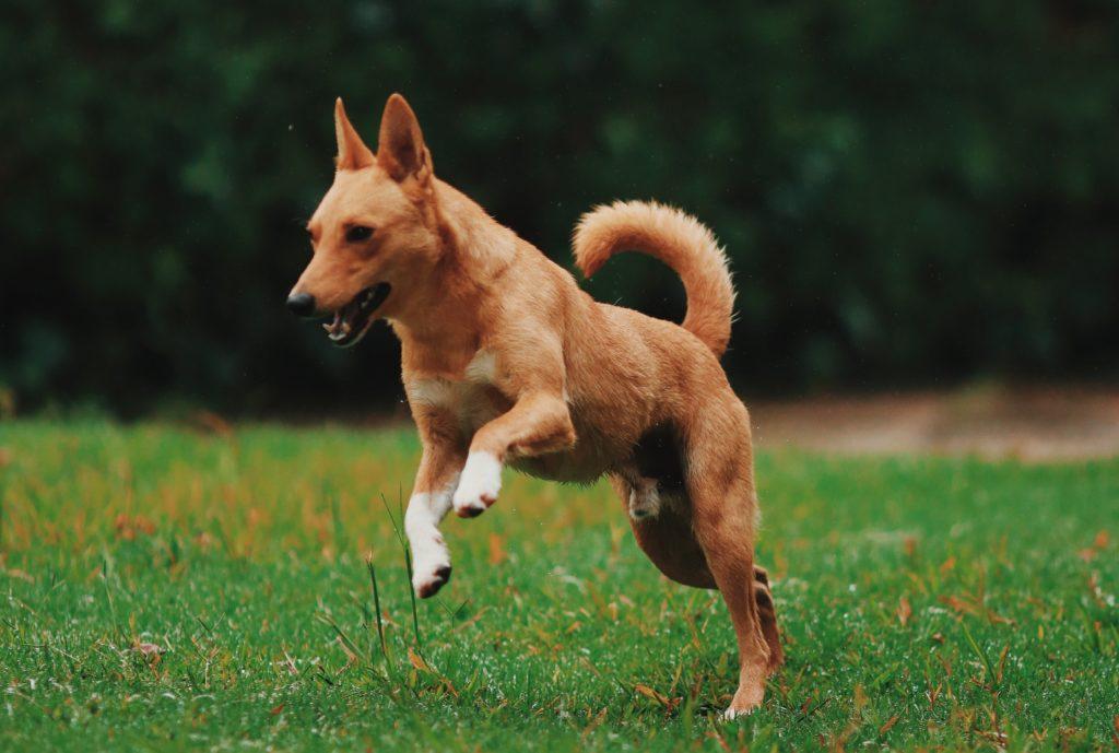 castratie hond