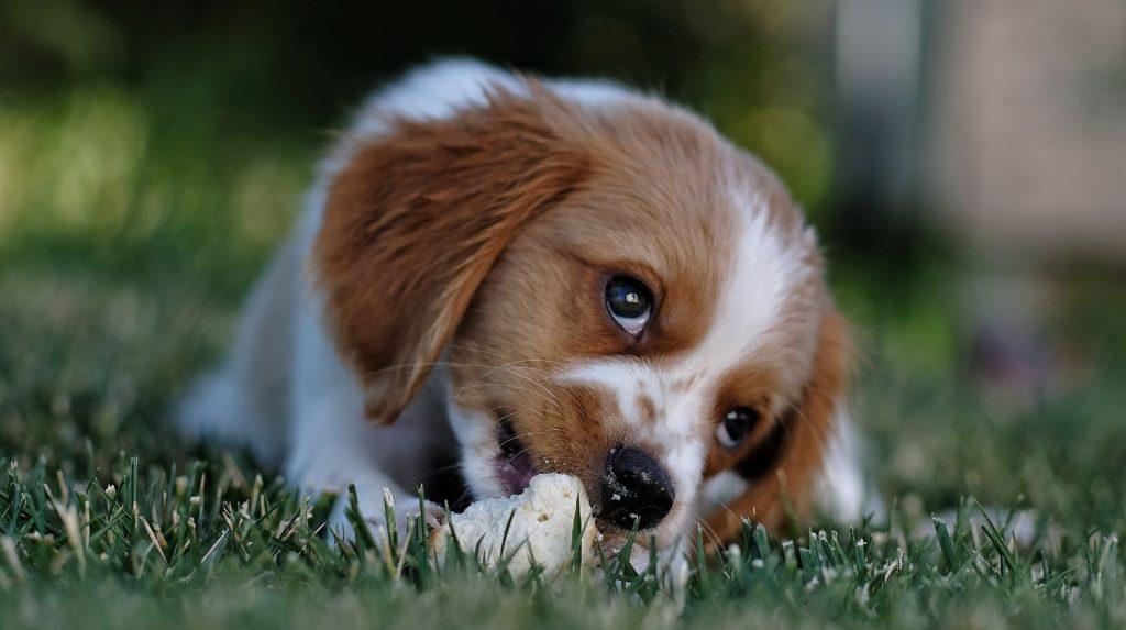chemisch castreren hond