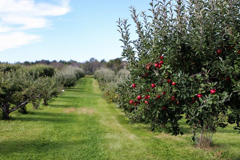 jonge appelboom snoeien