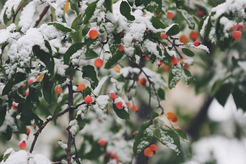 sierappelboom snoeien
