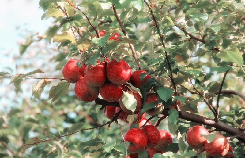 snoei appelboom