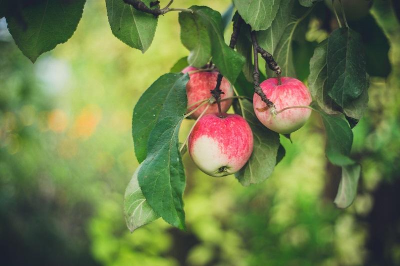 snoeien appelboom laagstam