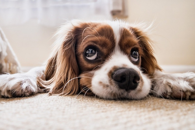 hond zakt door achterpoten oorzaak