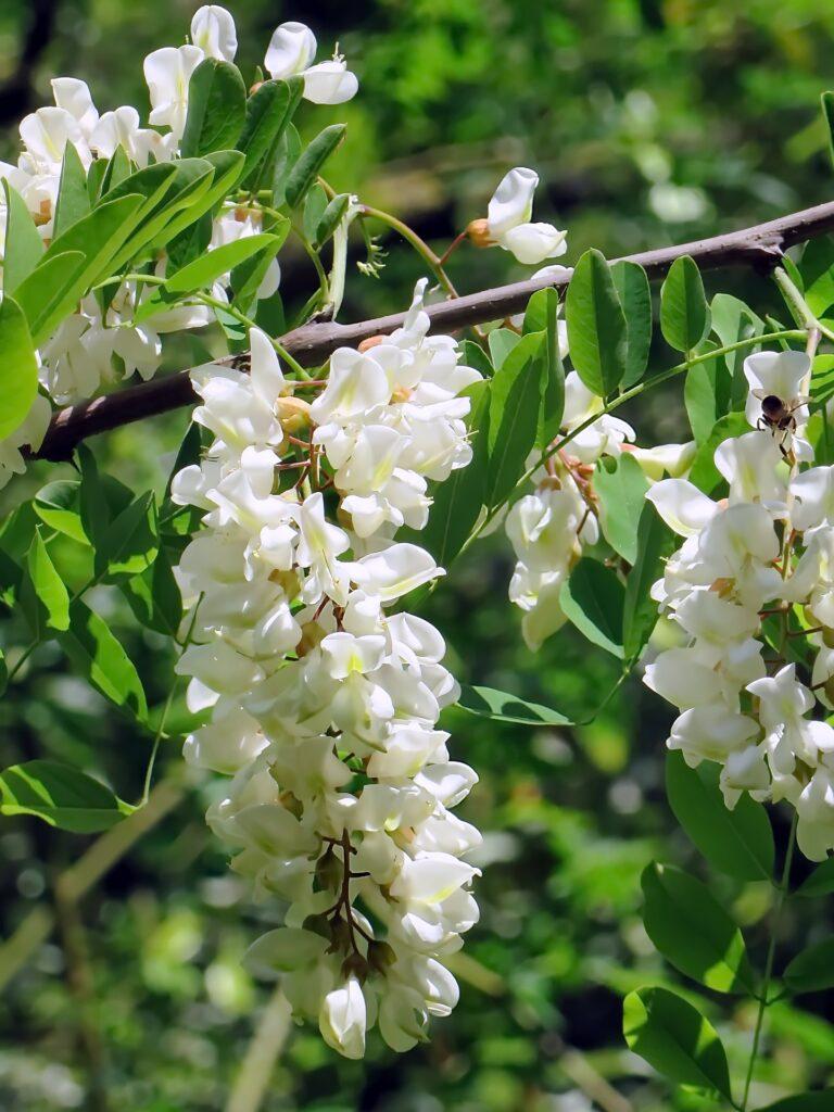 Witte Acacia