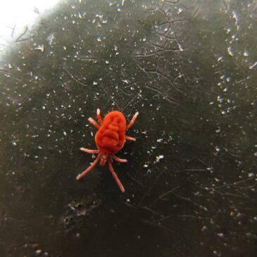 Kleine rode beestjes gespot. Maar wat zijn het?
